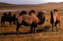 Монгол мал үндэсний хөтөлбөр